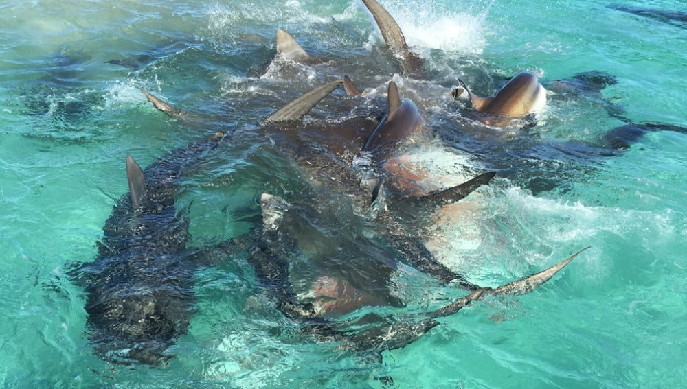 Decenas de tiburones atacan a una ballena