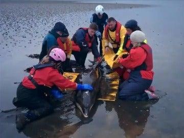 Expertos ayudando al delfín varado en la playa