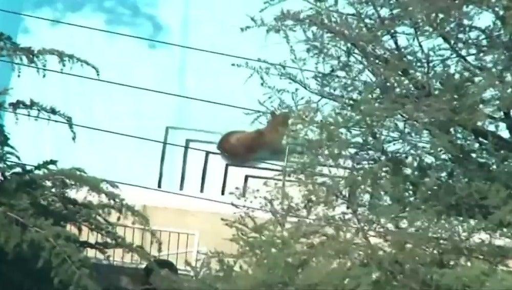 Frame 0.0 de: Un oso se cuela en la piscina de un barrio residencial en California para refrescarse