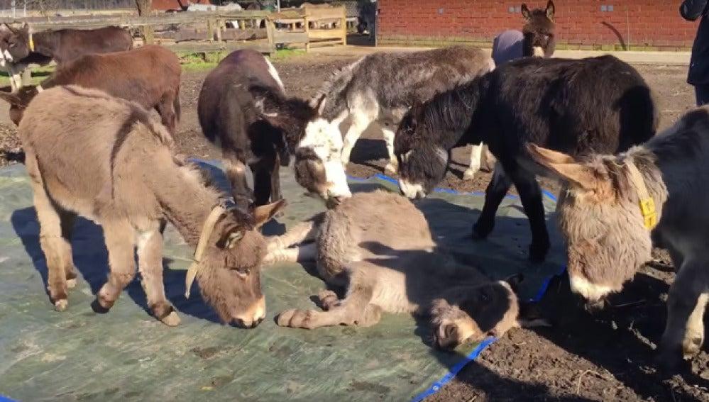 El desgarrador vídeo en el que unos burros lloran desconsoladamente la muerte de su amigo conmueve a las redes