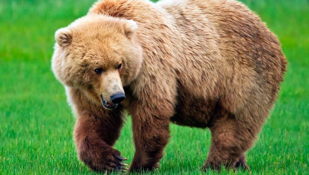 Un oso grizzly