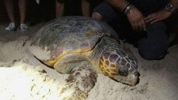 La tortuga boba que apareció en Sueca