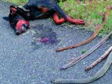 Los cuerpos del Doberman y las serpientes que mató