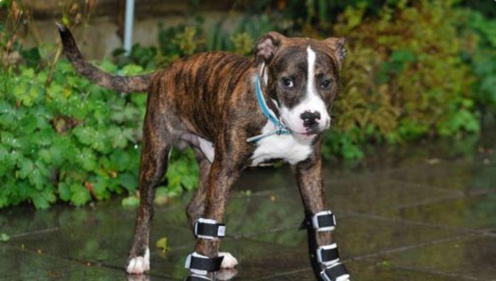 Bentley encuentra una familia que le querrá pese a su deformación en las patas