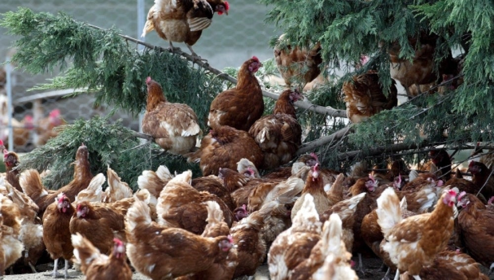 Imagen de archivo de unas gallinas en una granja
