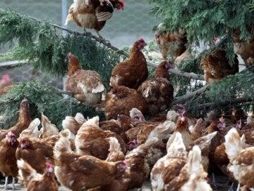 Gallinas en una granja