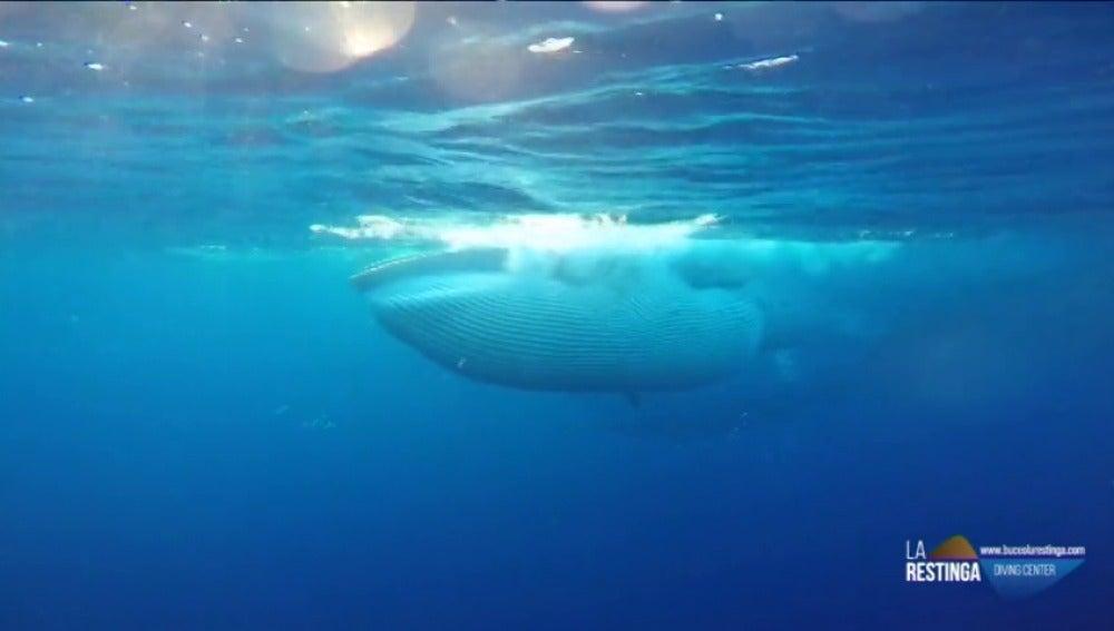 Frame 31.78625 de: Las impresionantes imágenes de una ballena lanzándose sobre un banco de peces en El Hierro