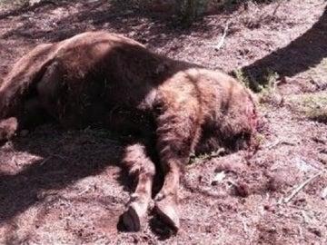 El cuerpo del bisonte hallado sin cabeza en la Reserva de Valdeserrillas