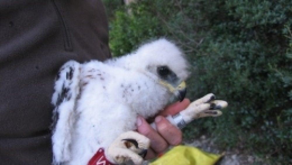 El polluelo 0M, anillado en 2008, murió