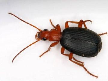 Los escarabajos bombarderos liberan un líquido a propulsión para defenderse