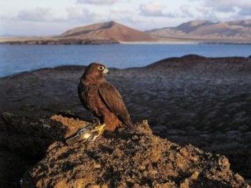 Un halcón en libertad