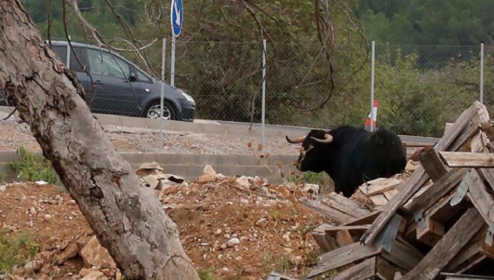 El toro que el dueño de un desguace de Montserrat ha soltado para ahuyentar a los ladrones