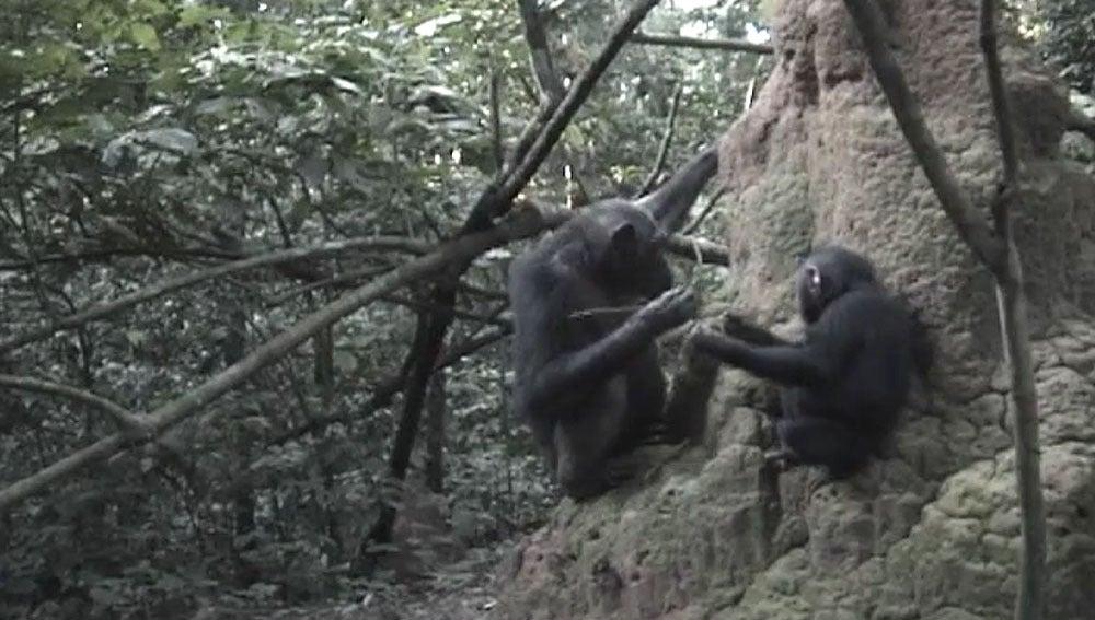 Una madre chimpancé enseñando a su cría