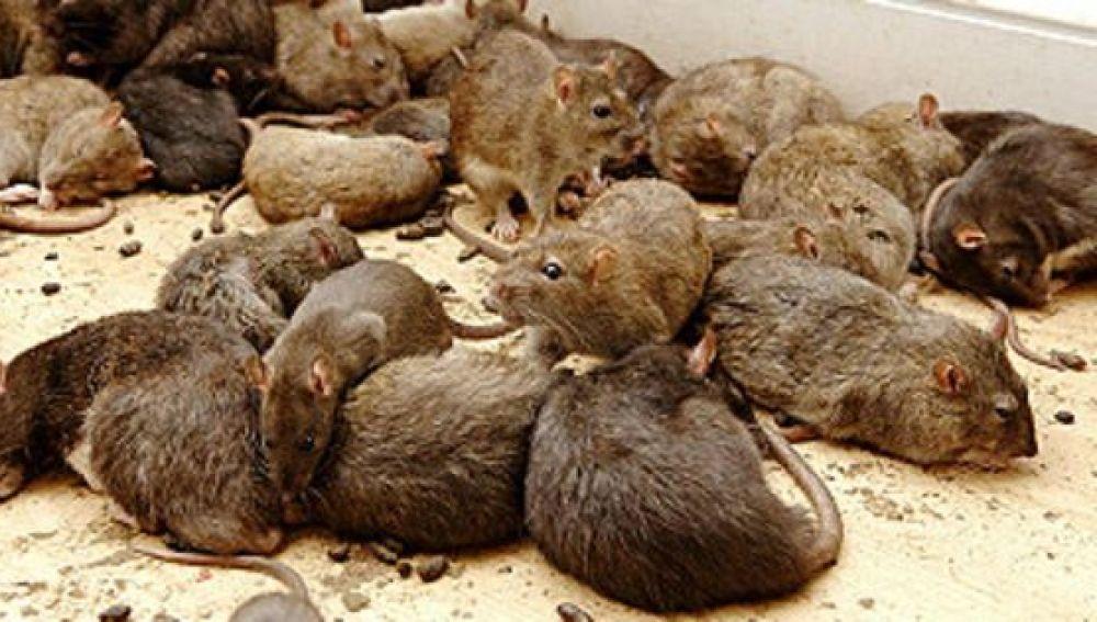 Problemas de ratones para los propietarios