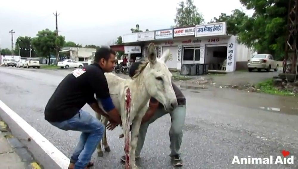 Frame 32.570824 de: Rescatan a un burro herido y sangrando abandonado en mitad de una carretera en India