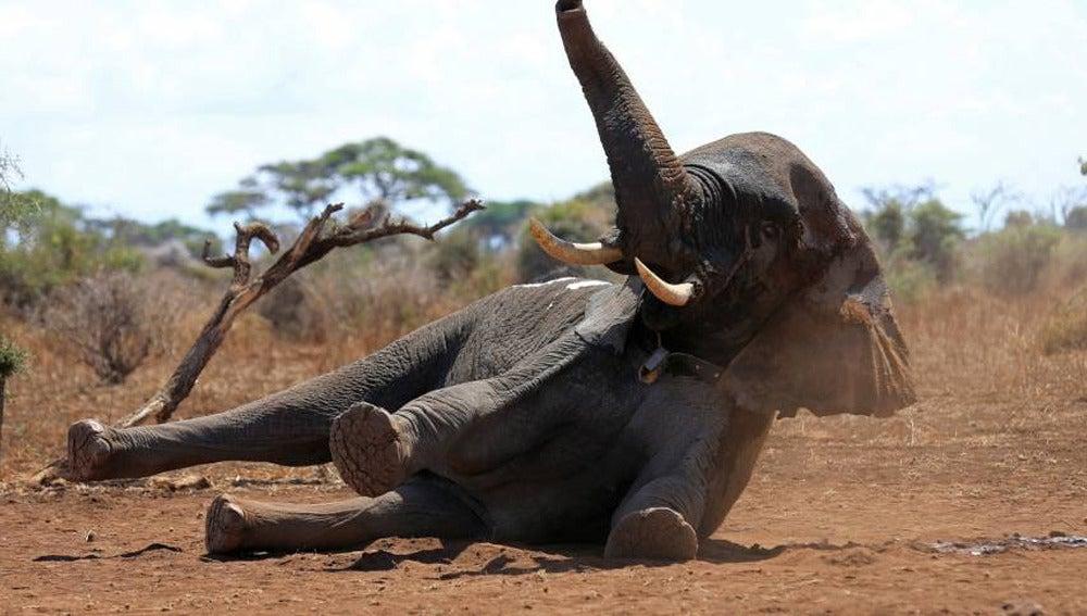 Elefante al que han colocado un collar (Archivo)