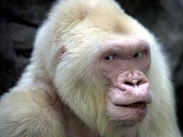 El Zoo de Barcelona añora a Copito de Nieve