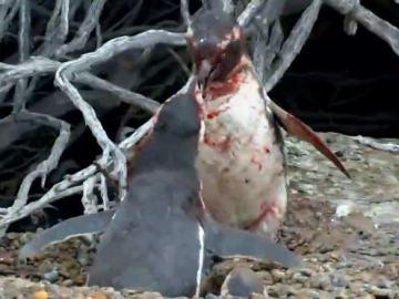 Dos pingüinos se enfrentan por el amor de una hembra