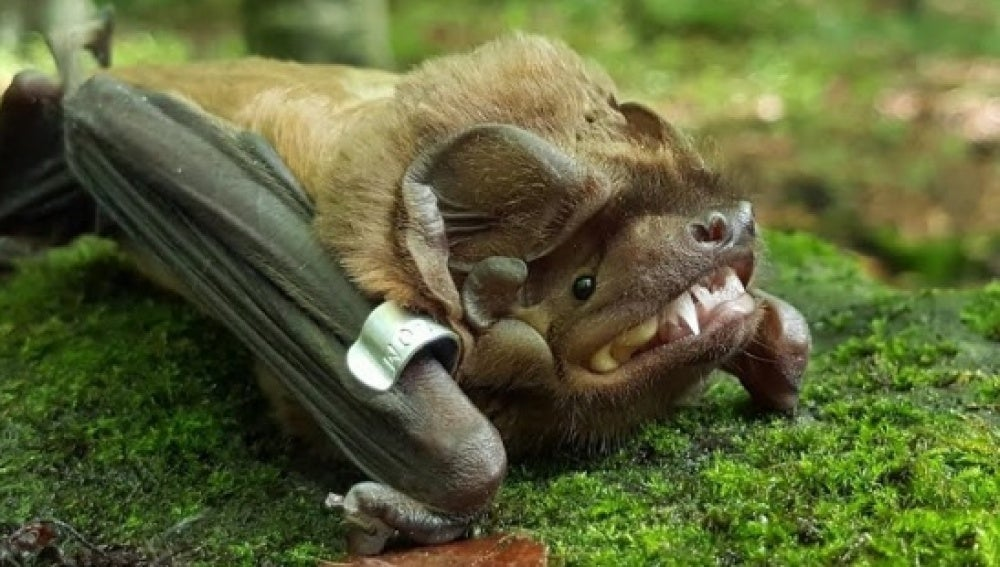 Uno de los murciélagos de la especie 'Nóctulo Mayor'