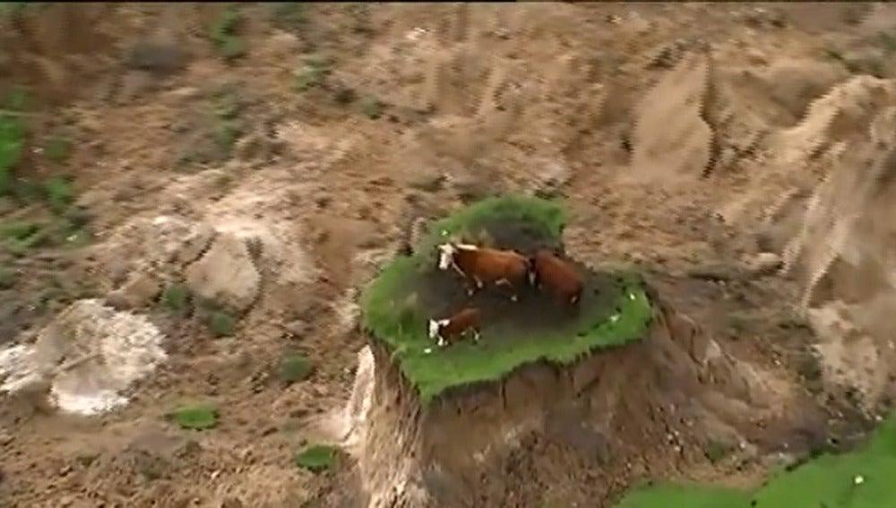 Tres vacas quedan atrapadas tras el terremoto