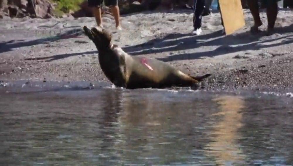 Frame 21.687737 de: Rescatan a tres leones marinos a punto de morir estrangulados tras quedar atrapados en redes de pesca