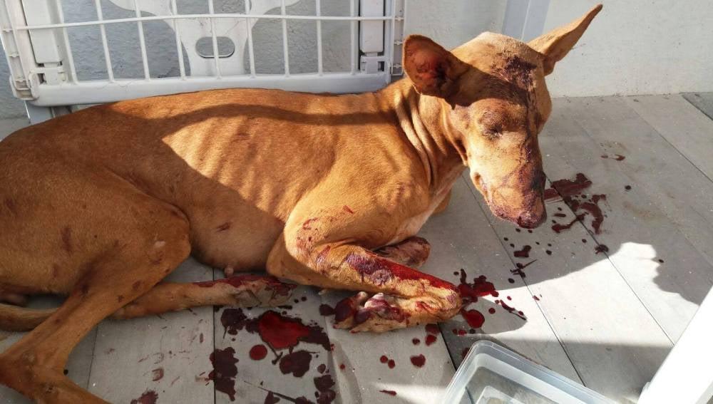Kora, la perra podenca agredida en Lanzarote