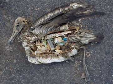 ¿Por qué las aves marinas tienen el estómago repleto de plástico?