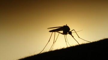 Un mosquito en plena acción
