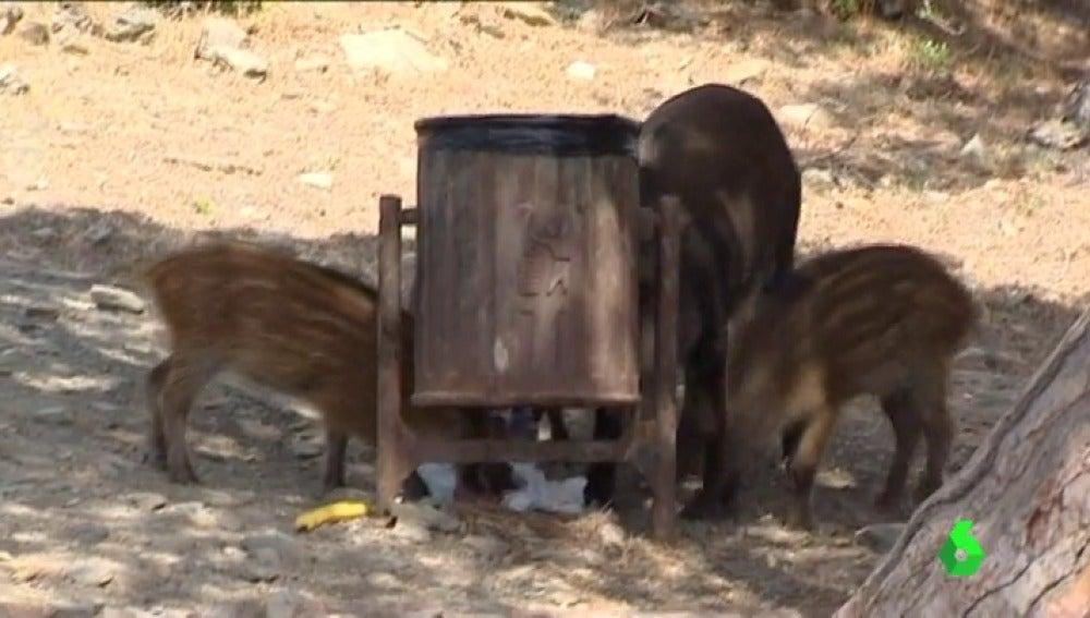 Frame 45.538137 de: ¿Qué se debe hacer cuando se encuentra un jabalí en suelo urbano? Animalistas piden evitar la muerte