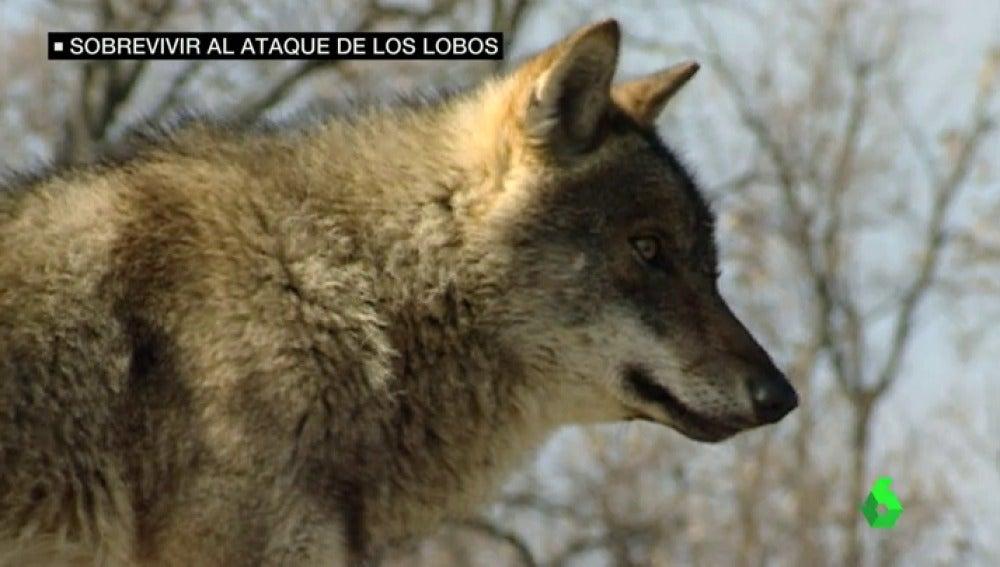 Frame 34.18878 de: lobos