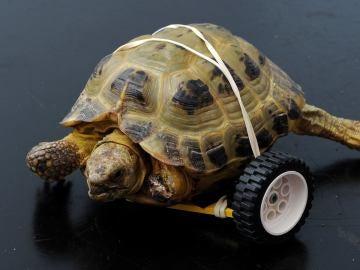 Vince, la tortuga que ha vuelto a caminar gracias a una prótesis de lego