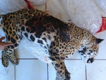 El jaguar que fue matado a tiros por un policía en las calles del municipio de Tlajomulco