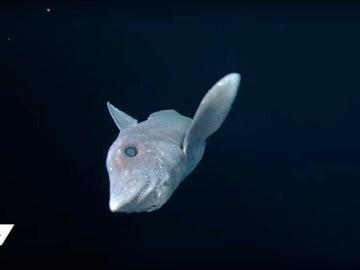 Imagen del tiburón fantasma en aguas del Pacífico