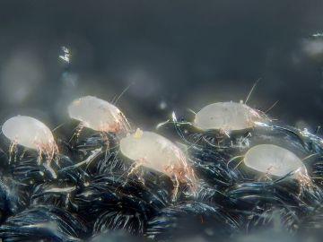 La alergia a los ácaros del polvo