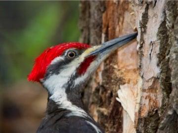 Los pájaros carpinteros muestran signos de posible daño cerebral