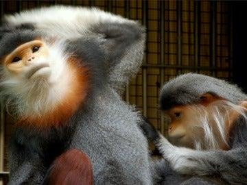 El douc de patas grises, un primate en peligro crítico de extinción