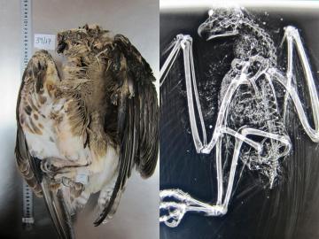 Imágenes facilitadas por el Govern del águila pescadora encontrada cerca del Aeropuerto de Palma