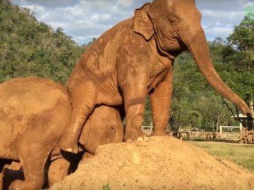 Un elefante se tira un pedo en la cara de su compañero para vengarse