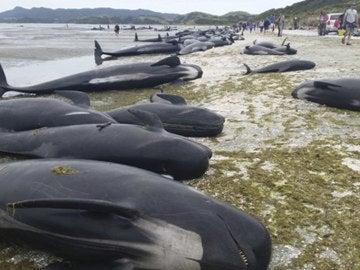 Imagen facilitada por el Departamento de Conservación de Nueva Zelanda (DOC, en sus siglas en inglés) que muestra docenas de ballenas varadas en una playa de Farewell Spit en la Bahía Dorada de Nueva Zelanda