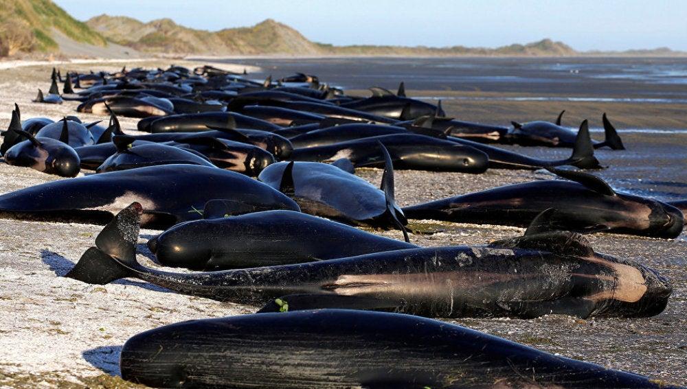 Una línea de 350 ballenas muertas a lo largo de toda una playa de Nueva Zelanda