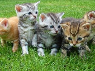Crías de gato