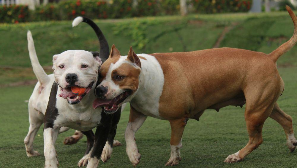 Perros potencialmente peligrosos - Imagen de archivo