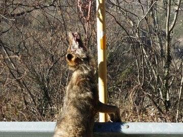 Aparece un nuevo lobo colgado de una señal en Asturias