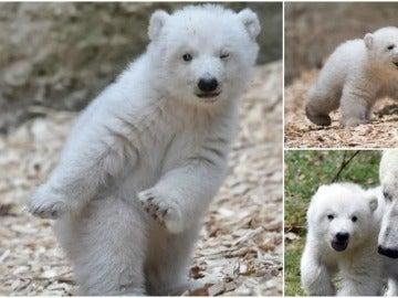 El adorable cachorro de oso polar que conquista con su paso de baile 'dab'