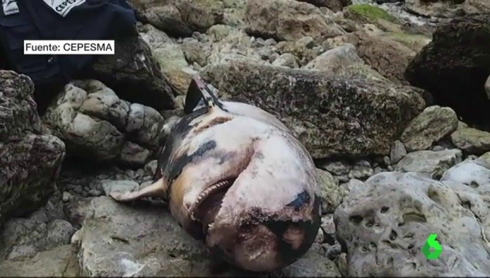 Decenas de cetáceos aparecen abandonados o pudriéndose después de que Asturias rompiera el acuerdo con la ONG que los rescataba