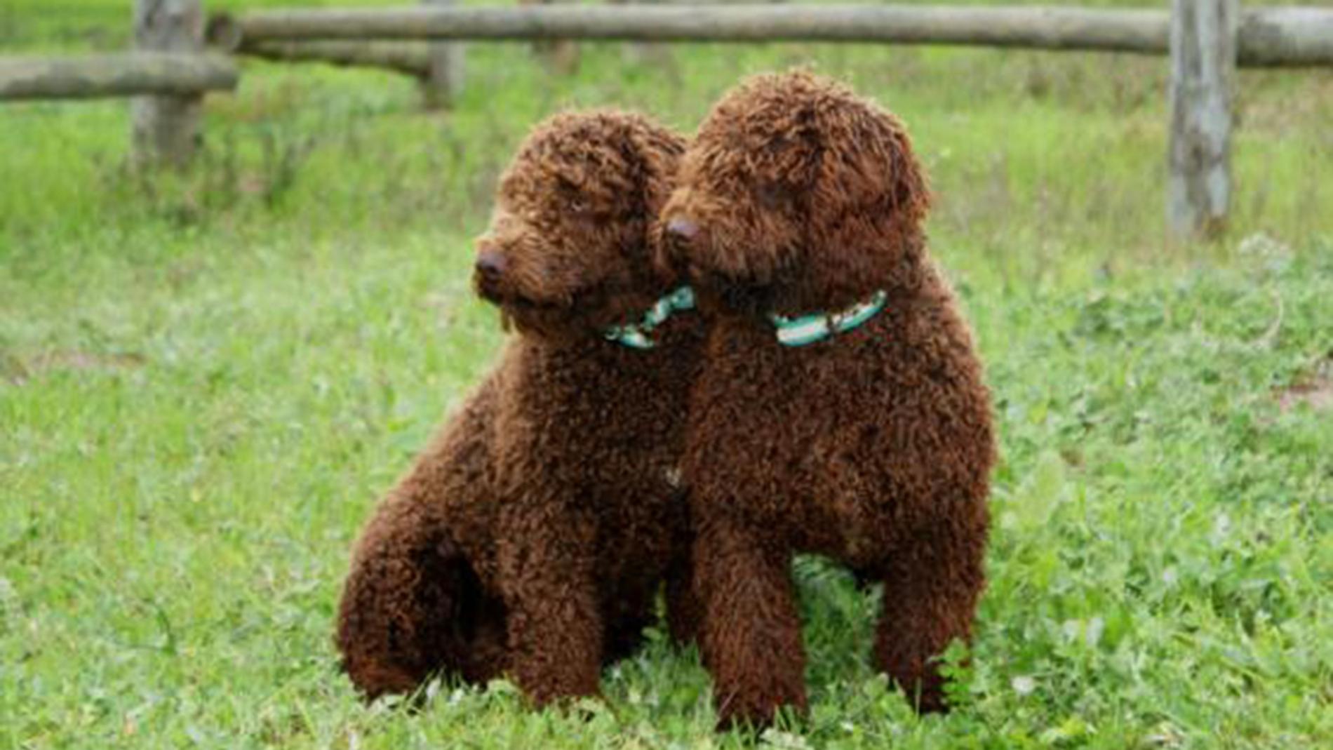 Dos perros de agua
