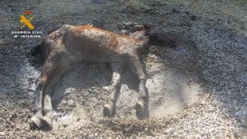 Yegua desnutrida encontrada por la Guardia Civil en Navarra