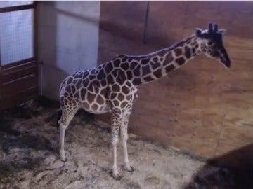 La jirafa April se convierte en el animal más célebre del mundo