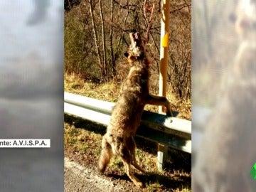 Frame 8.964076 de:  Investigan la muerte de varios lobos que aparecieron colgados en señales en Asturias mientras se reabre el debate sobre el depredador