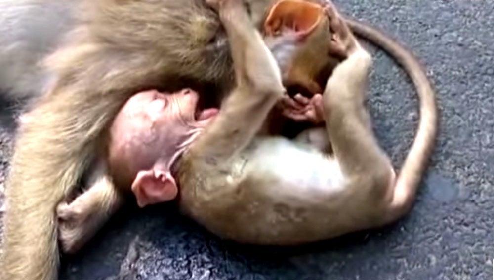 Llanto de un mono junto a su madre muerta